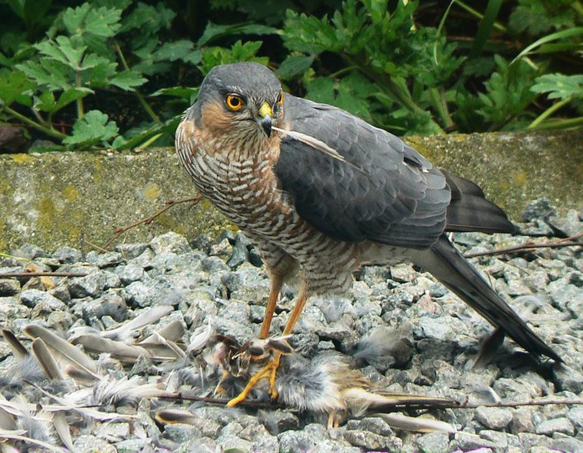 Sparrowhawks typically pluck the feathers from their prey, as they are indigestible. If you venture out into your garden and you see a lot of feathers scattered around- you've been visited by a sparrowhawk.