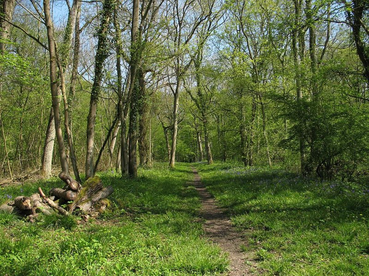 Deciduous woodland like this is the typical breeding and hunting habitat for the sparrowhawk. Though in recent years, they have become more common in parks and gardens.