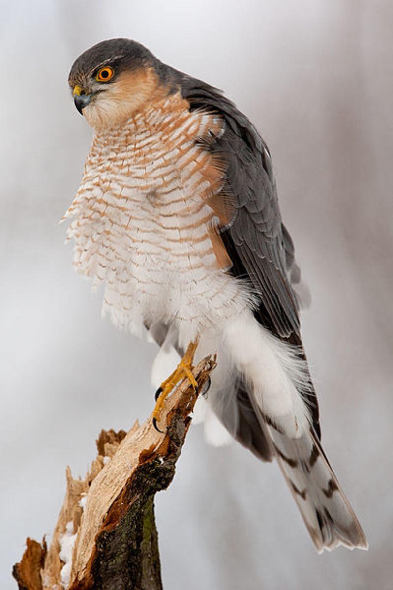 A male Eurasian sparrowhawk.