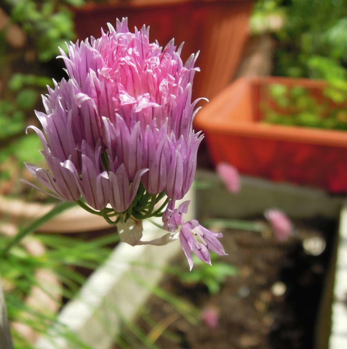 Many everyday herbs hav eexcellent magical properties. (Chive flower)