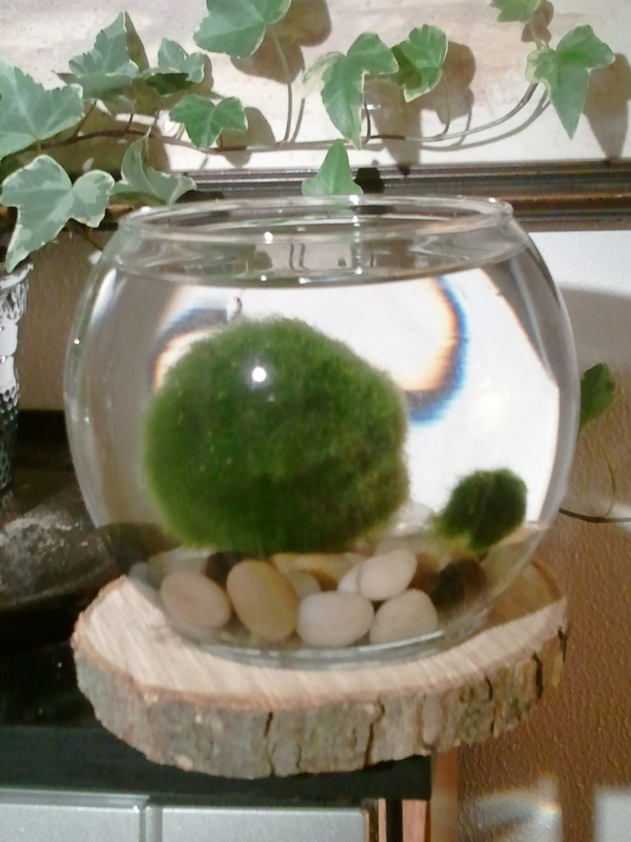 Large (left) and small (right) marimo balls