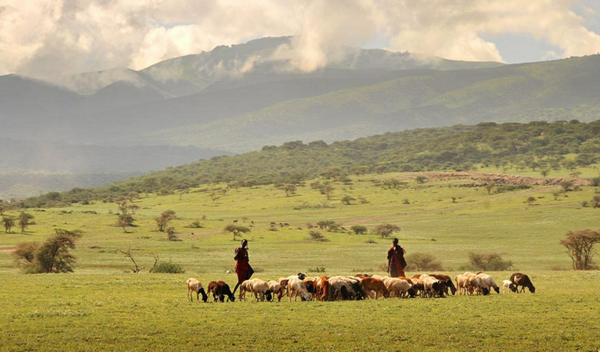 Maasai and cattle. The Maasai control large chunks of land.