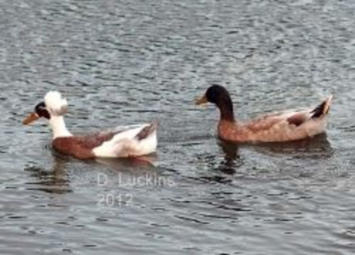 Buff and crested duck