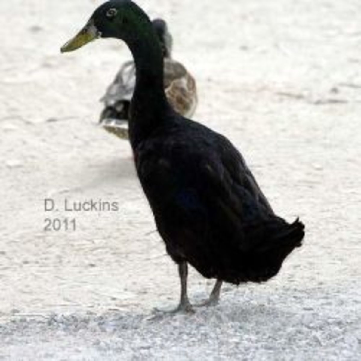 A black Indian runner duck, which will be discussed below.