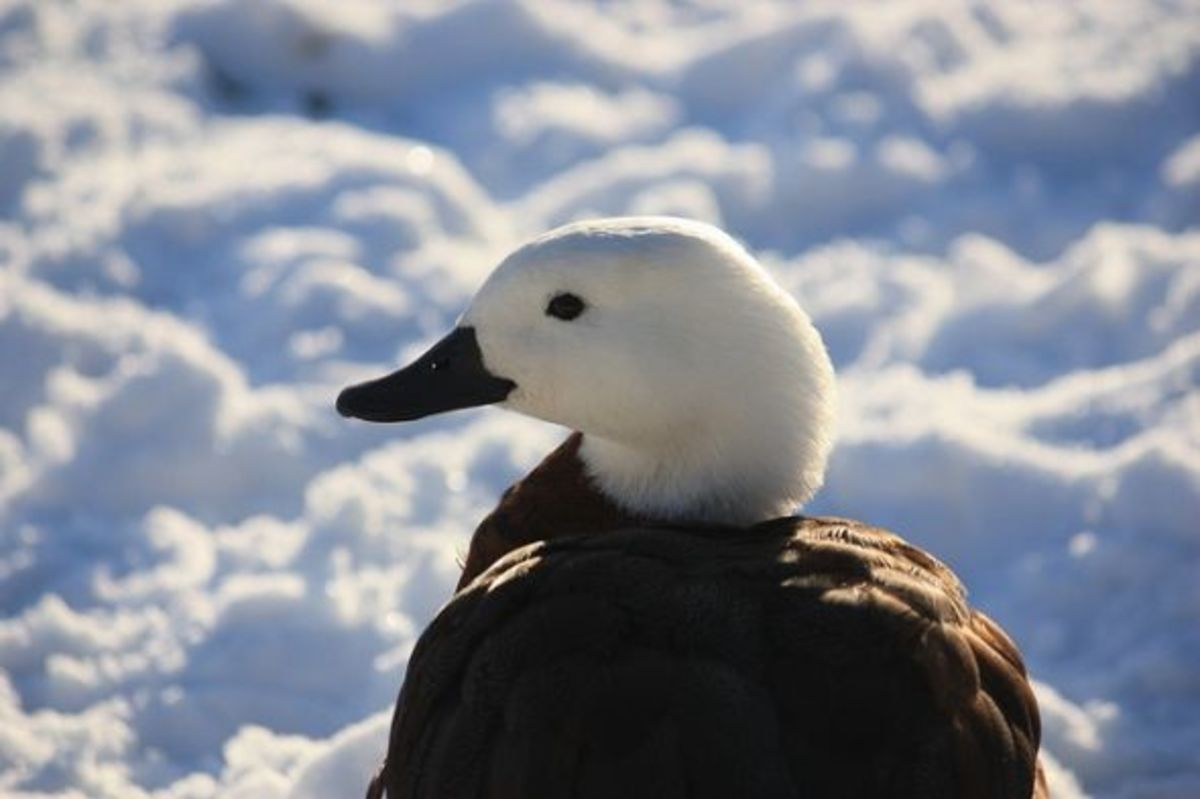 Paradise Shelduck by Kitty Terwolbeck, Creative Commons