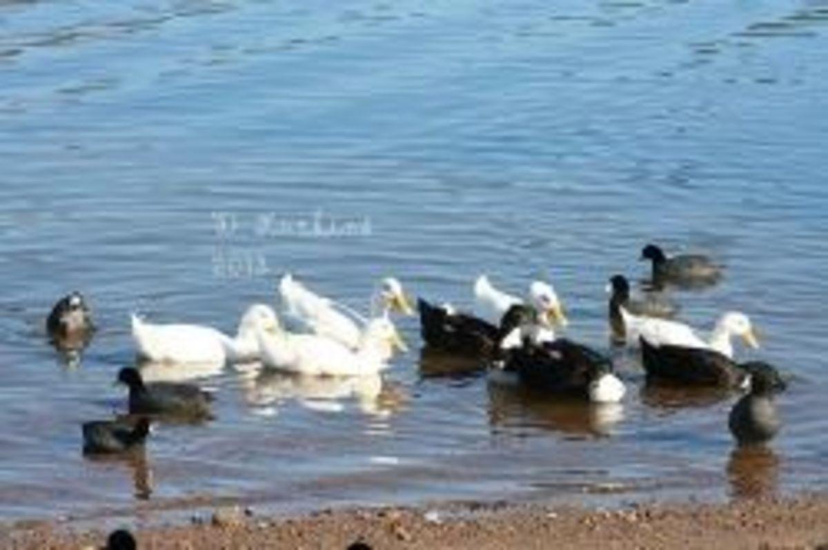 Ducks needing rescue