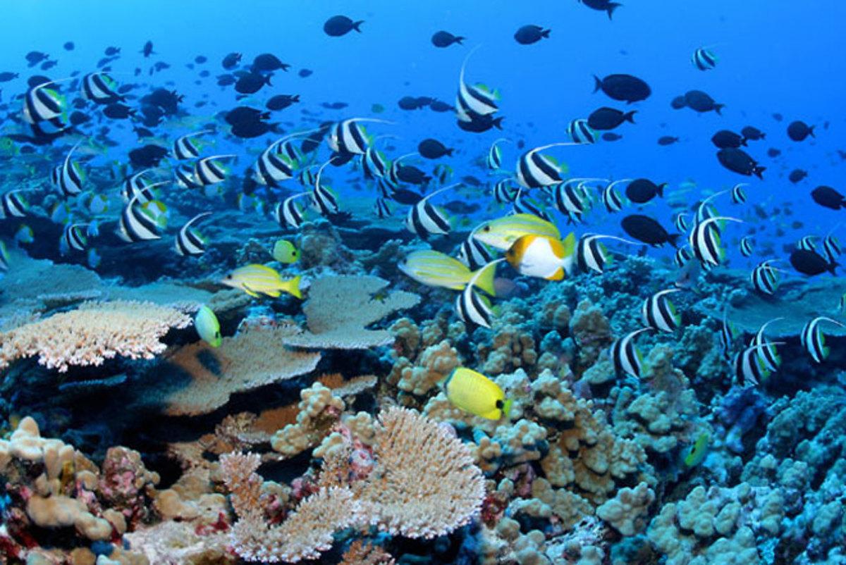hawaiian-reef-fish