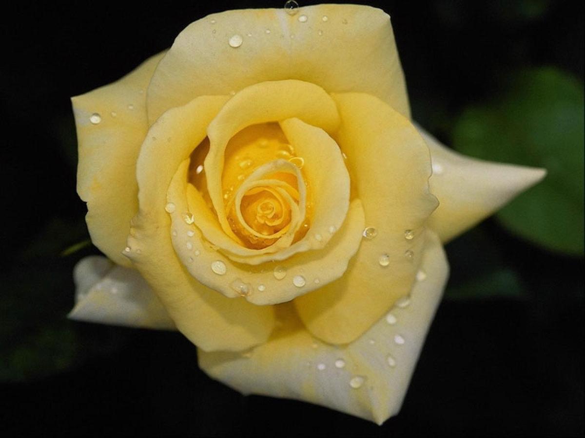 Rose Petal Wine Recipe