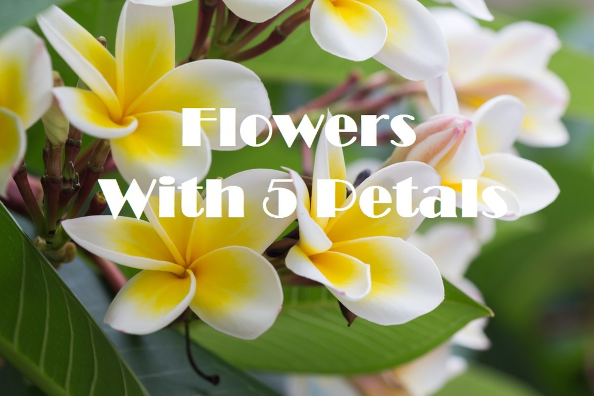 Plants That Produce Flowers With 5 Petals for A Lovely Flower Garden