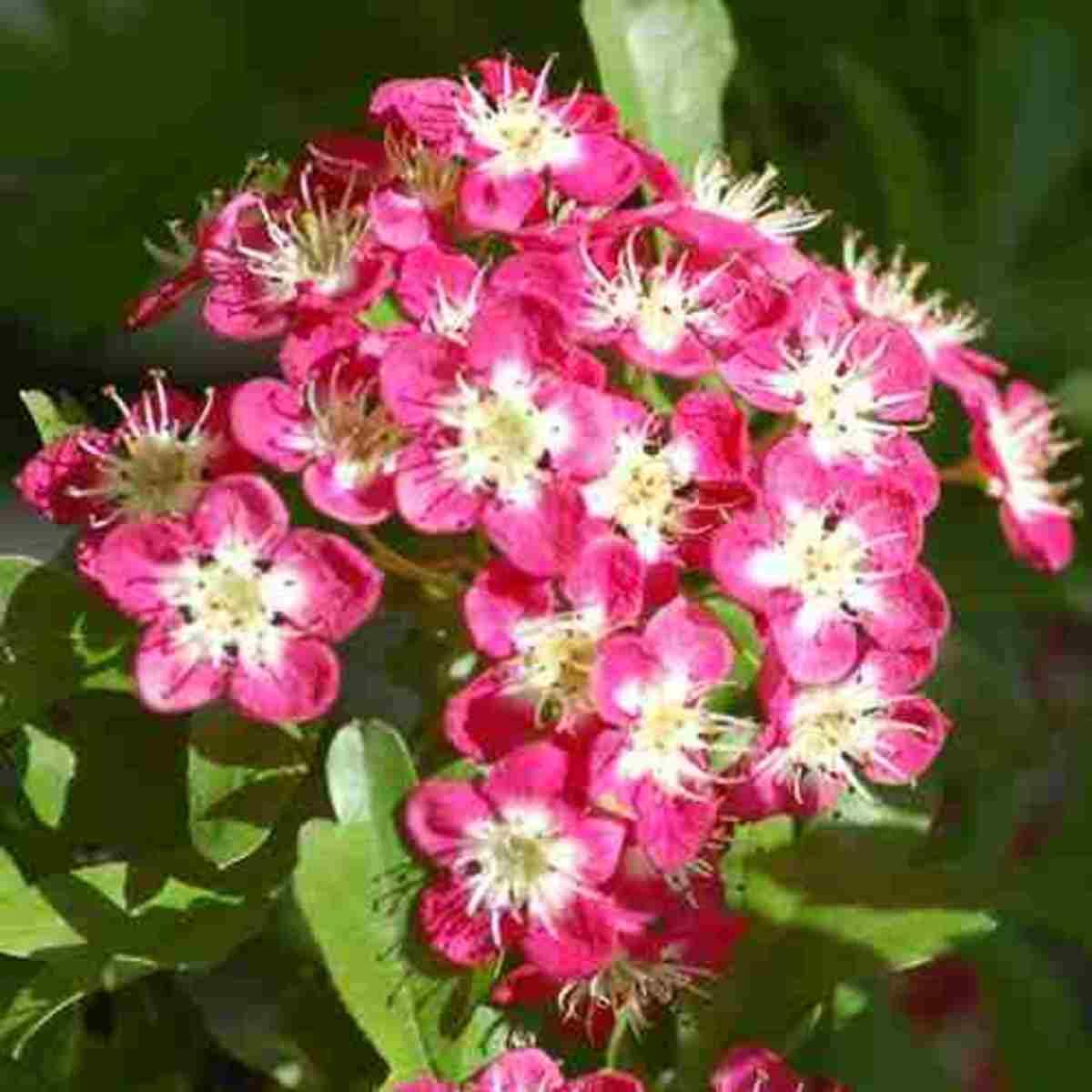Hawthorn (Crataegus) One of the Wise Womans healing plants. Public Domain