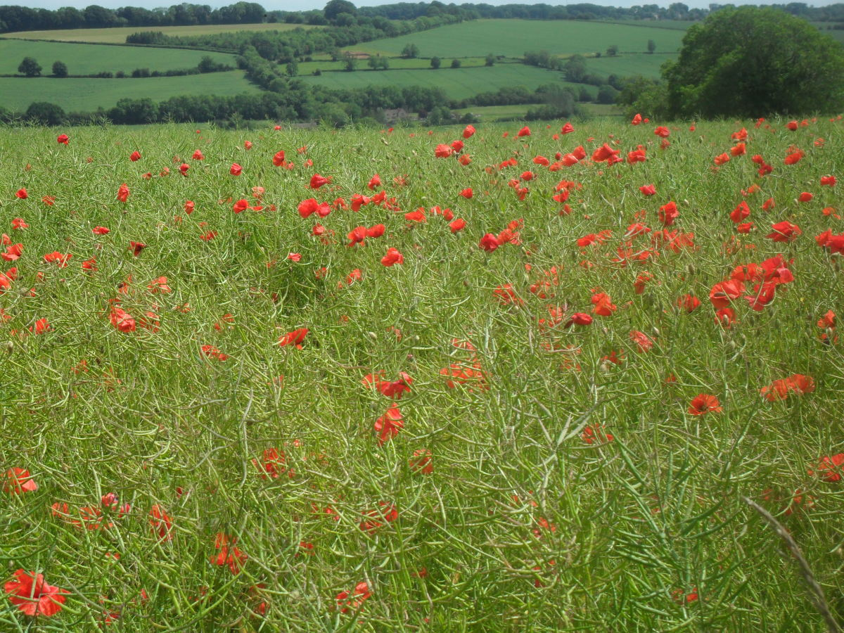 Red poppies and English countryside as far as the eye can see