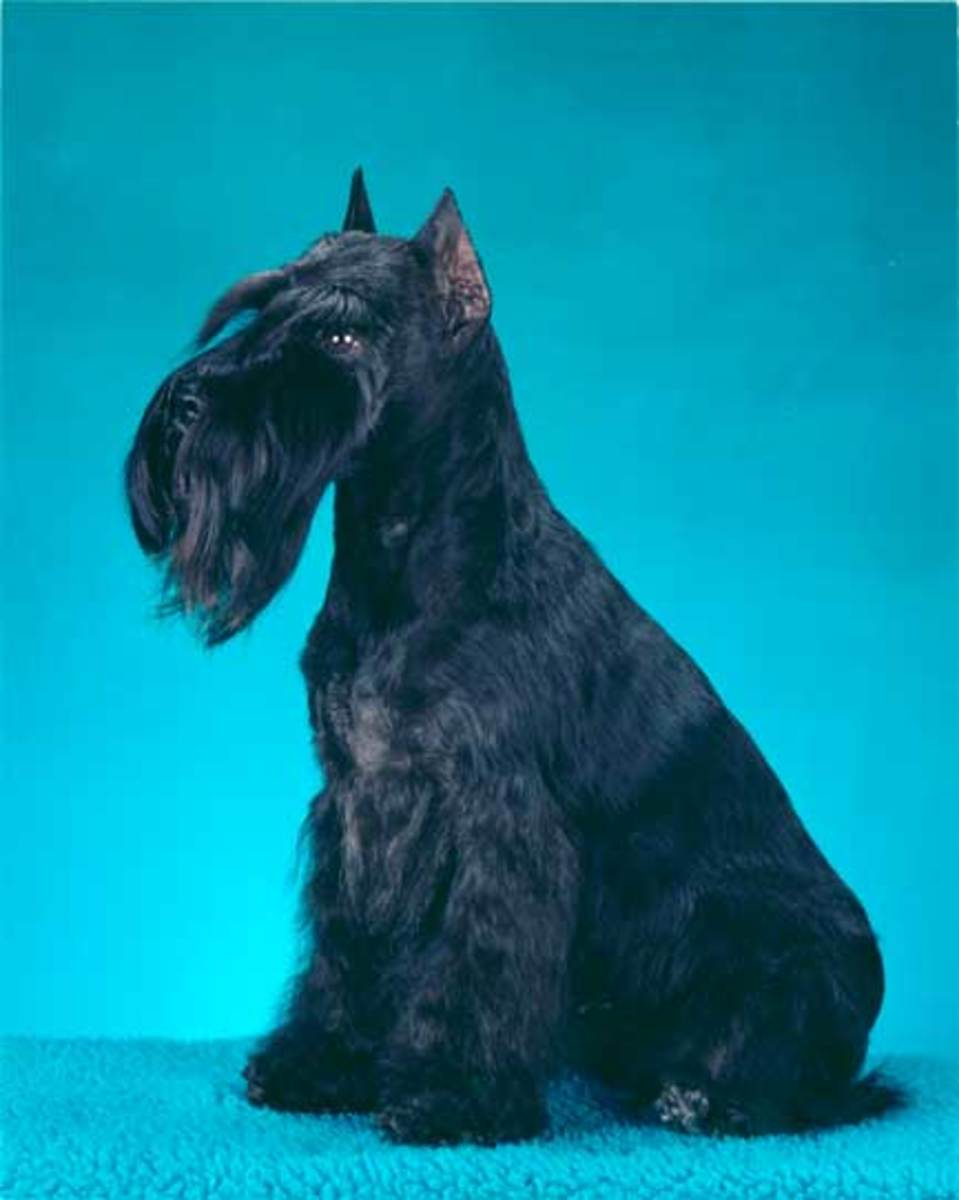 These days, the historical look of dogs such as this schnauzer is in jeopardy.