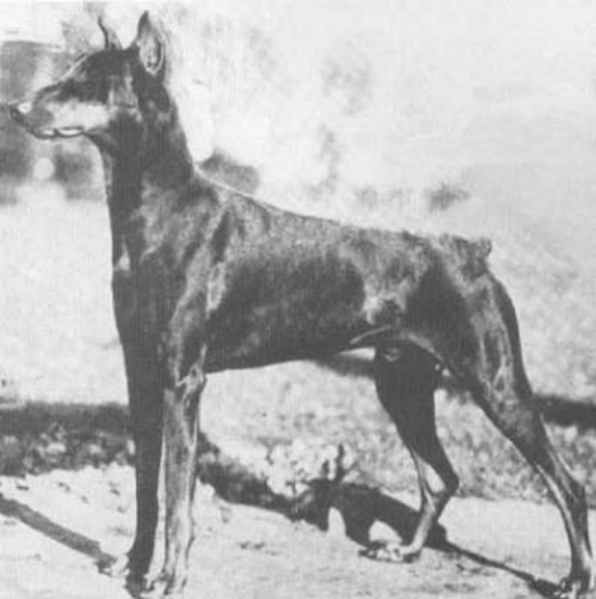 History is important to any true supporter of their favorite dog breed, as this is what defines the dogs they love.