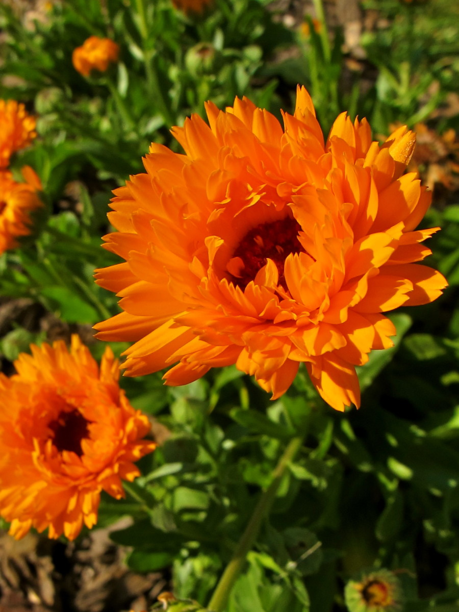 The Healing Properties of Calendula