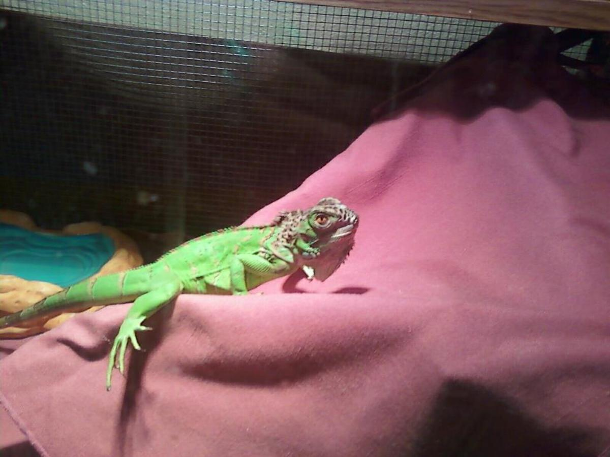 how-to-feed-your-iguana-without-breaking-your-bank