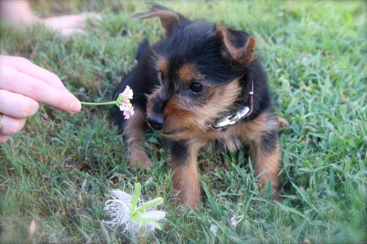 The Pros and Cons of Owning an Australian Terrier