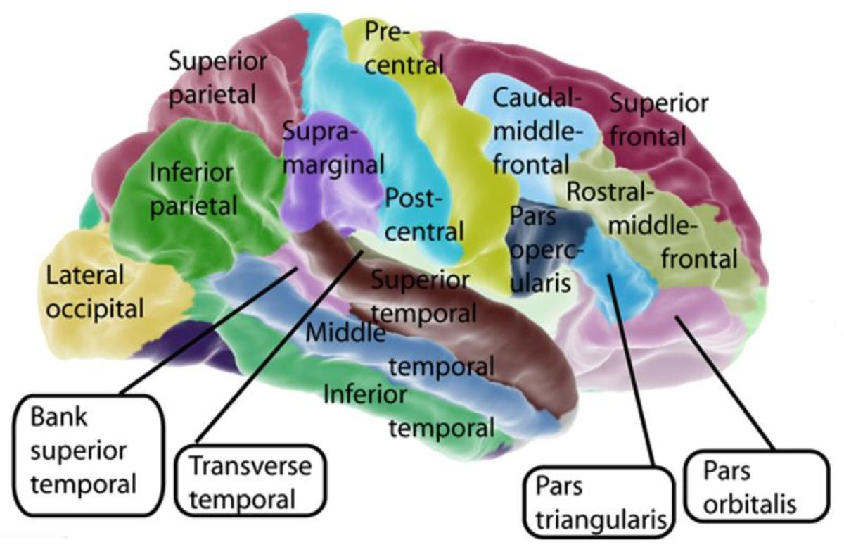 Brain - Lateral surface of cerebral cortex
