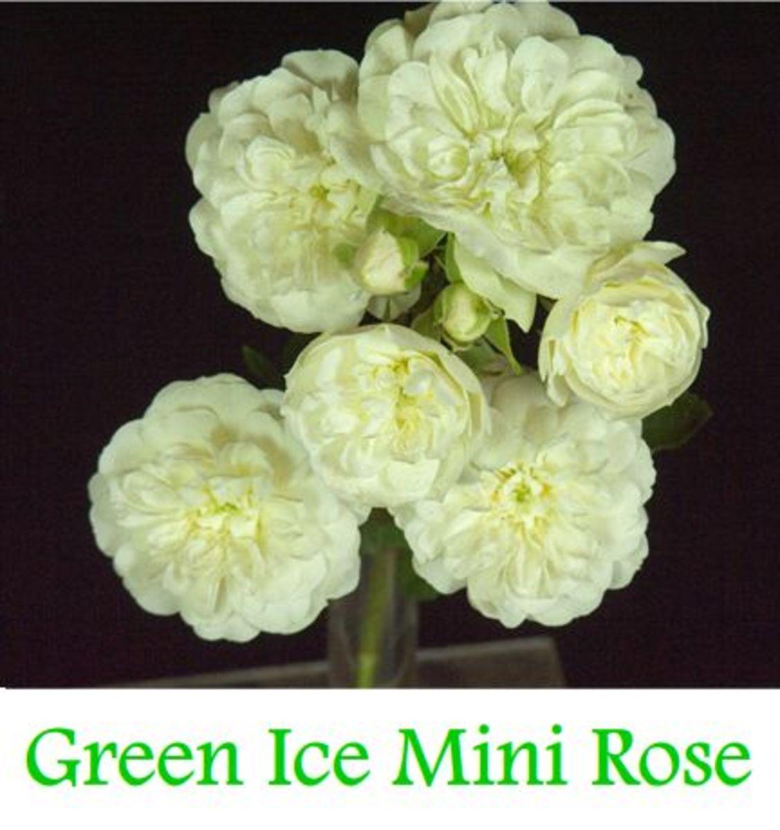 Green Ice Mini Rose