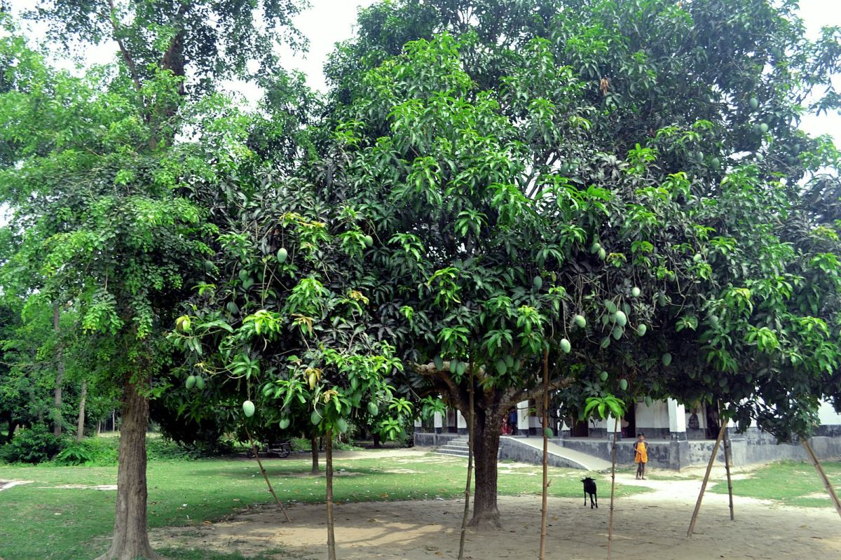 During the Mango season, most of the mango orchards are heavily laden with mangoes