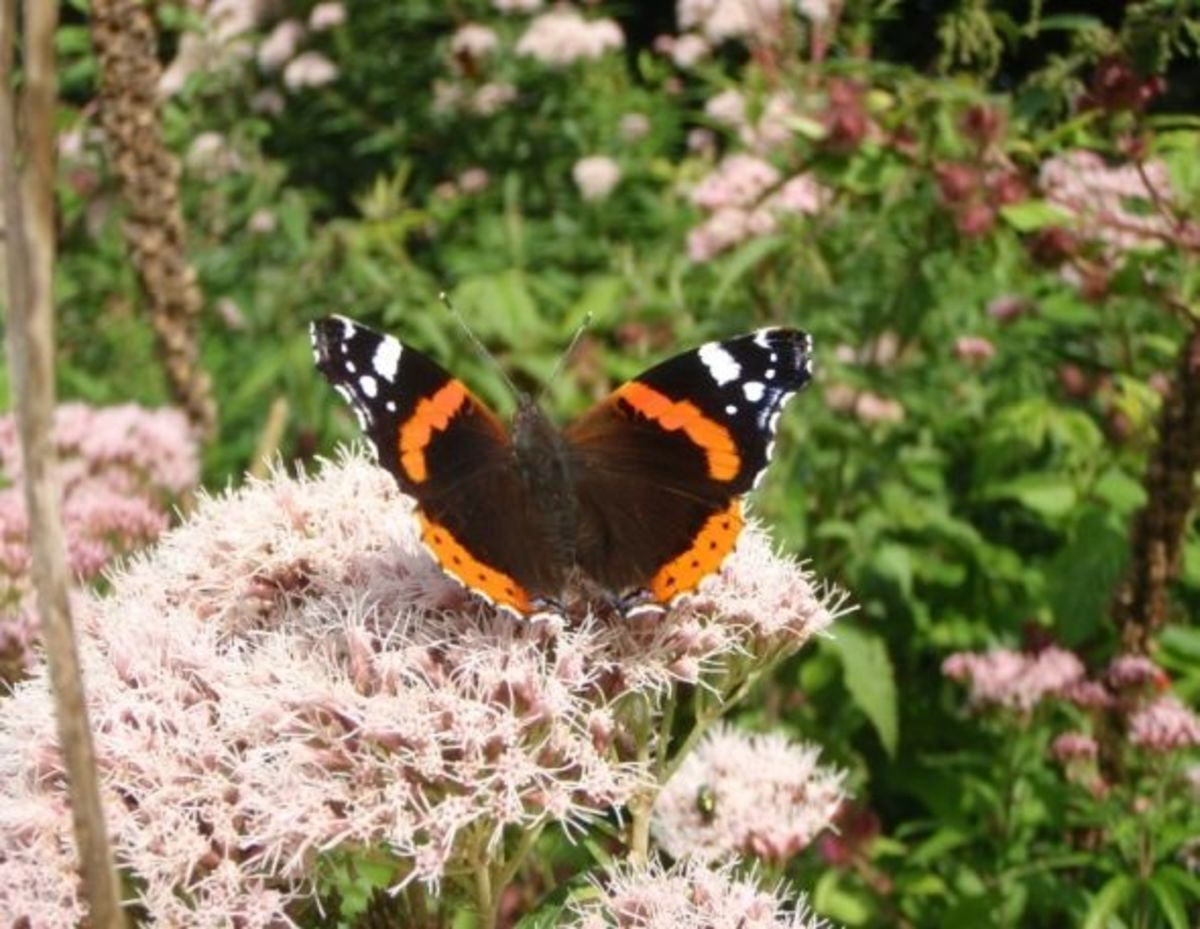 names-of-butterflies-with-pictures