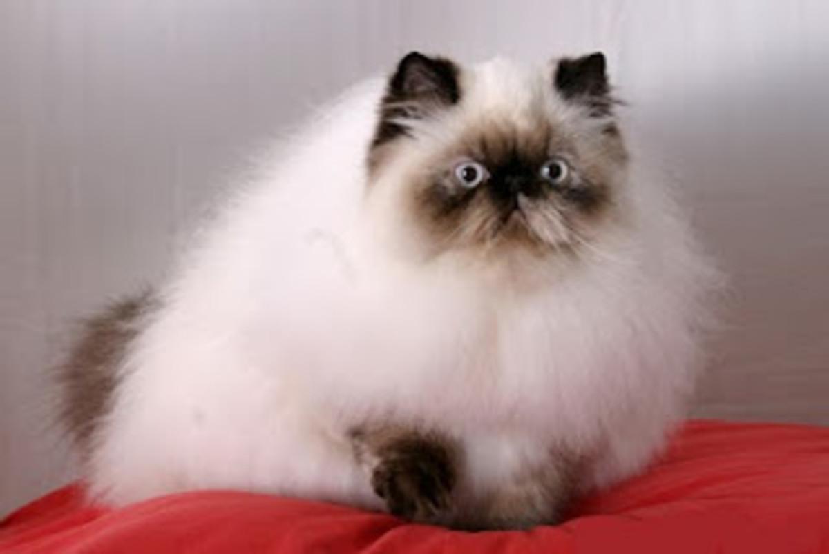 A Himalayan Cat.