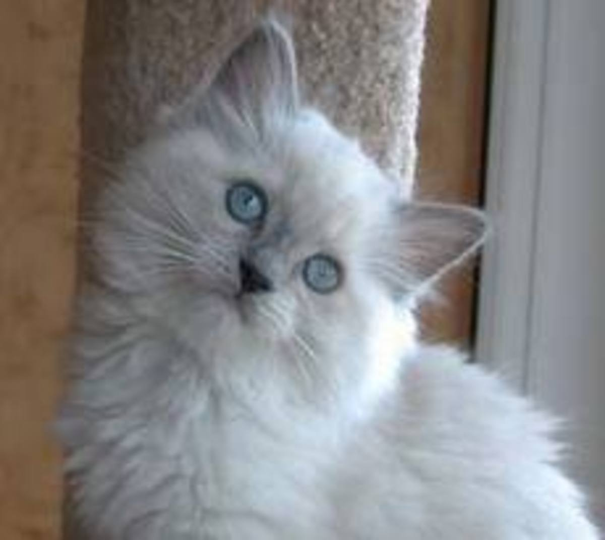 A full grown Ragdoll cat.