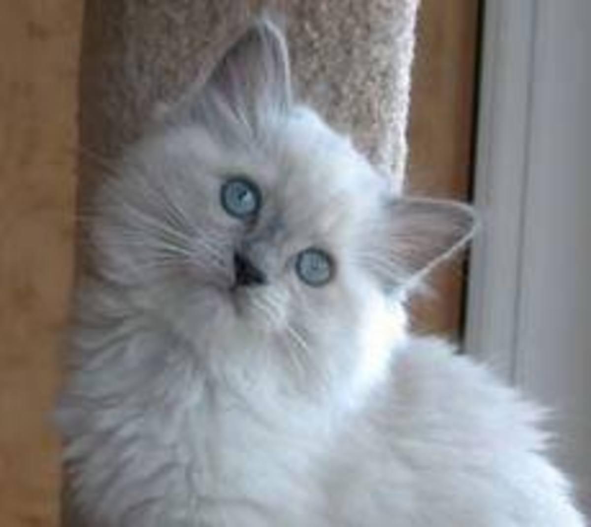 A full grown Ragdoll cat.