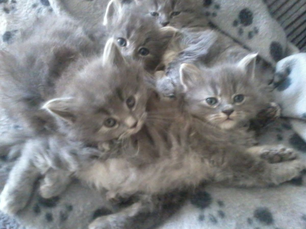 A List Of Long Haired Cat Breeds