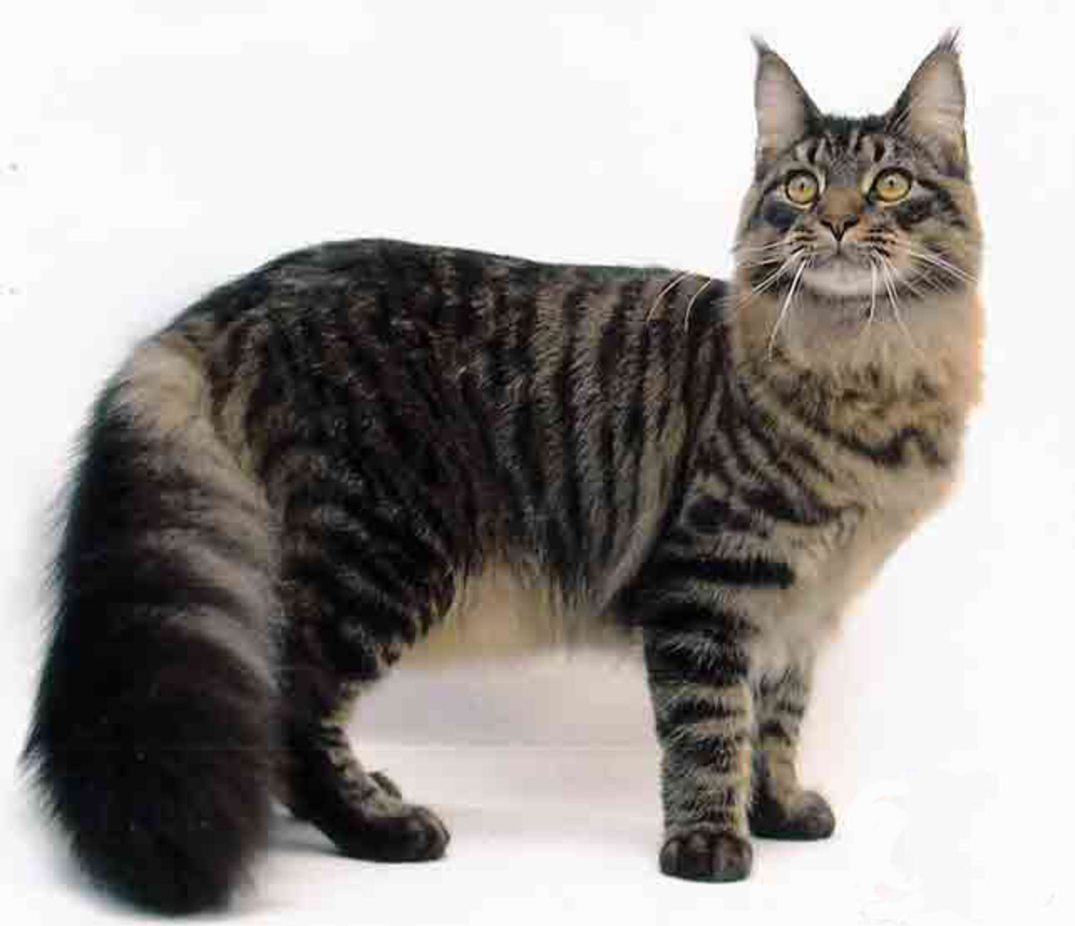 A full grown Maine Coon cat.