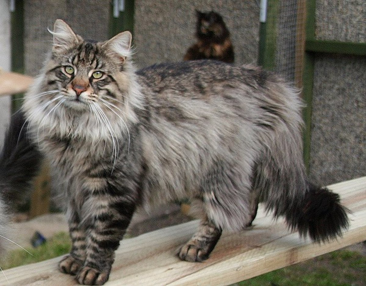 A List of Long Haired Cat Breeds | HubPages