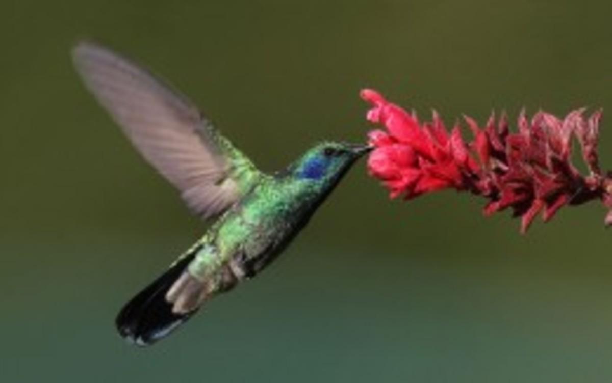 "Green ""violet ear"" hummingbird, called Olibri Thalassinus-Panama"