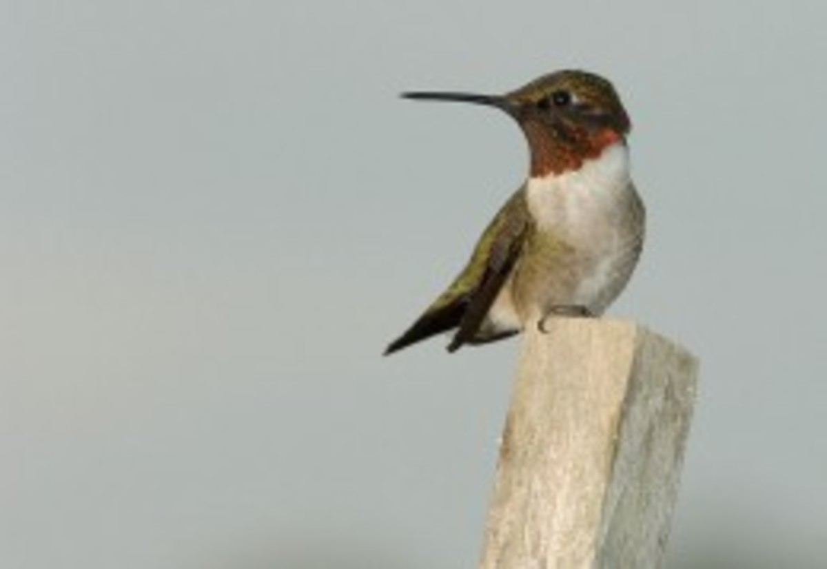 Ruby throated hummingbird.