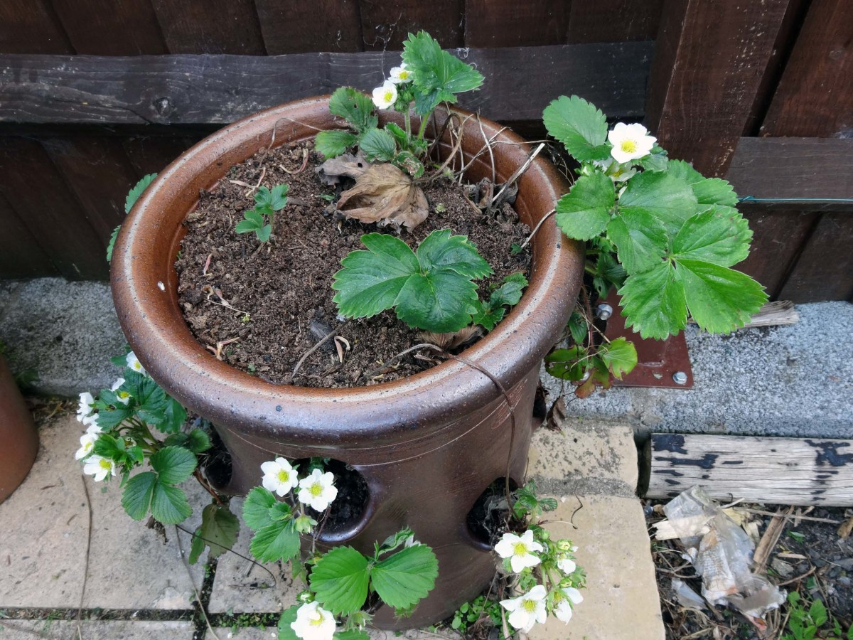 Standard Strawberry plants in a strawberry pot, loves a sunny spot so placed against a south facing fence next to our soft fruits border where I grow our raspberries and blueberries. I also grow a few strawberry plants in our greenhouse for an early