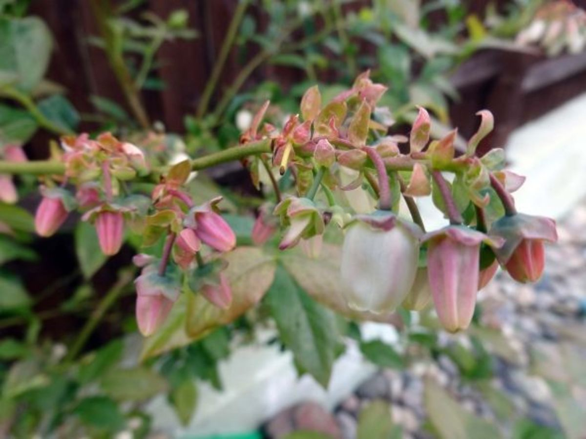 Blueberry plant in flower