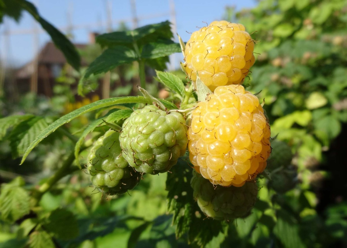 Yellow raspberries in our back garden