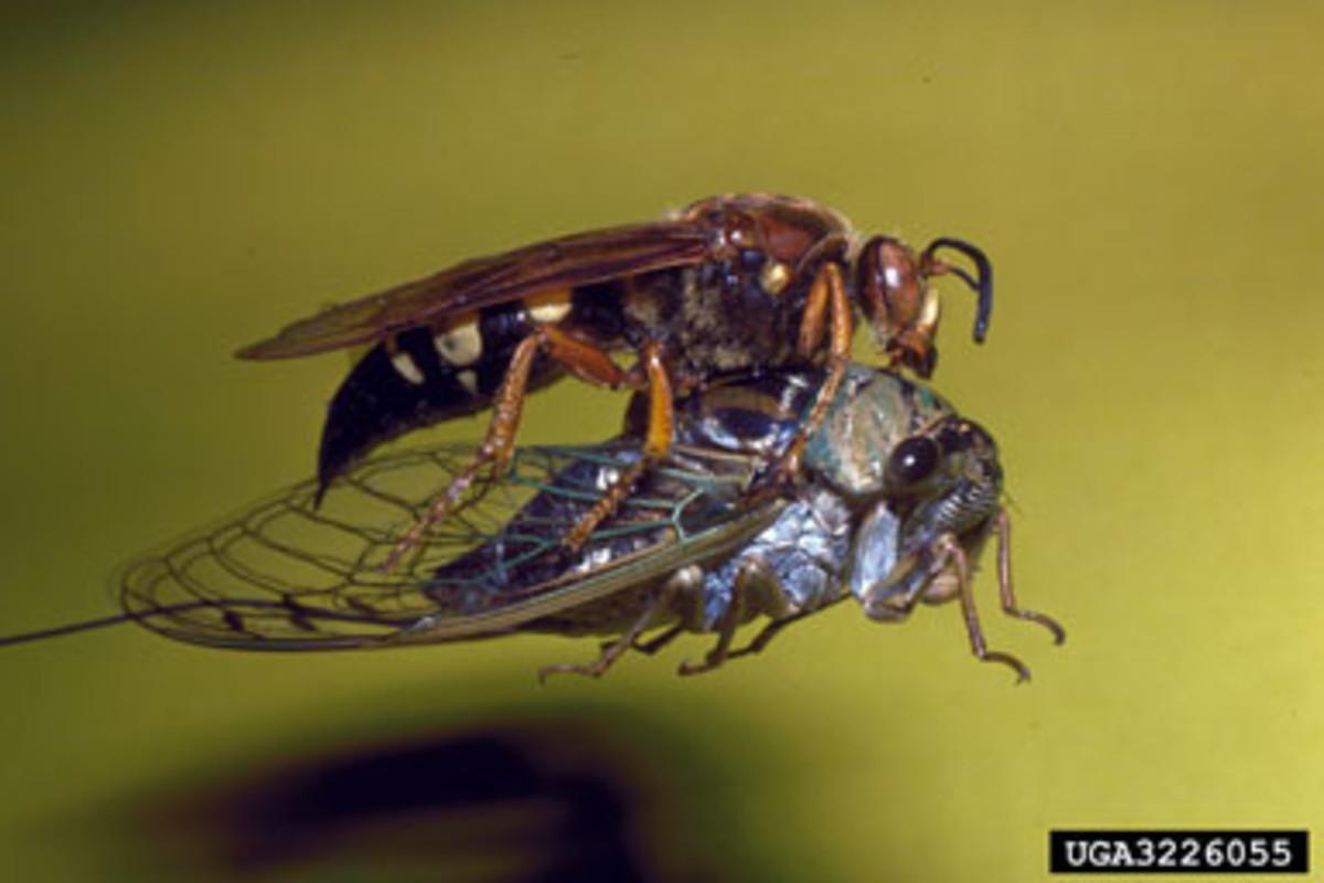 boric-acid-helps-eliminate-cicada-killer-wasps