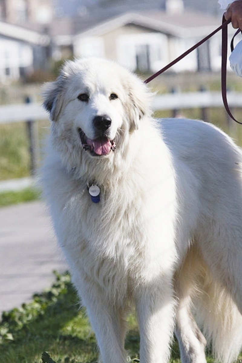 the-top-10-tallest-dog-breeds