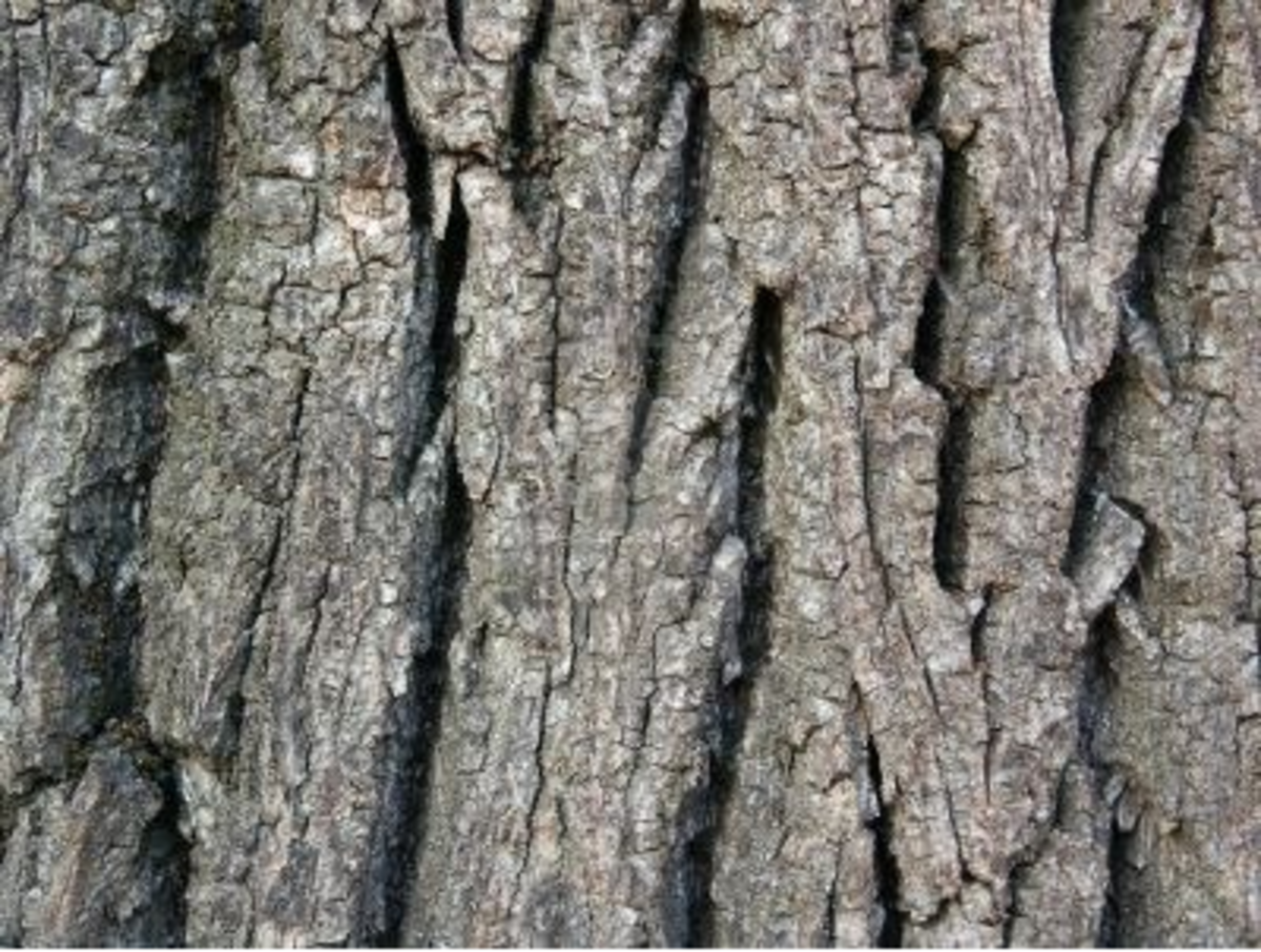 Using walnut tree bark to whiten your teeth