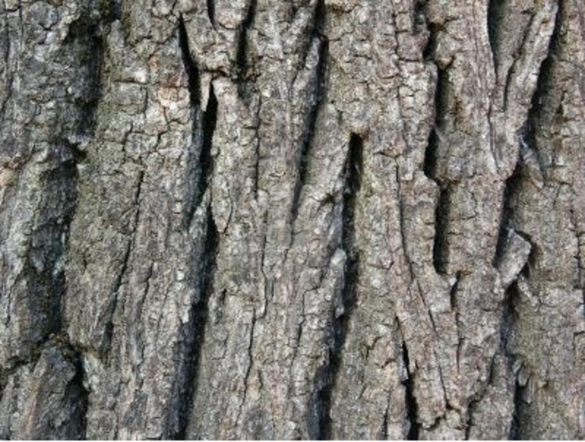 Using walnut tree bark to whiten your teeth