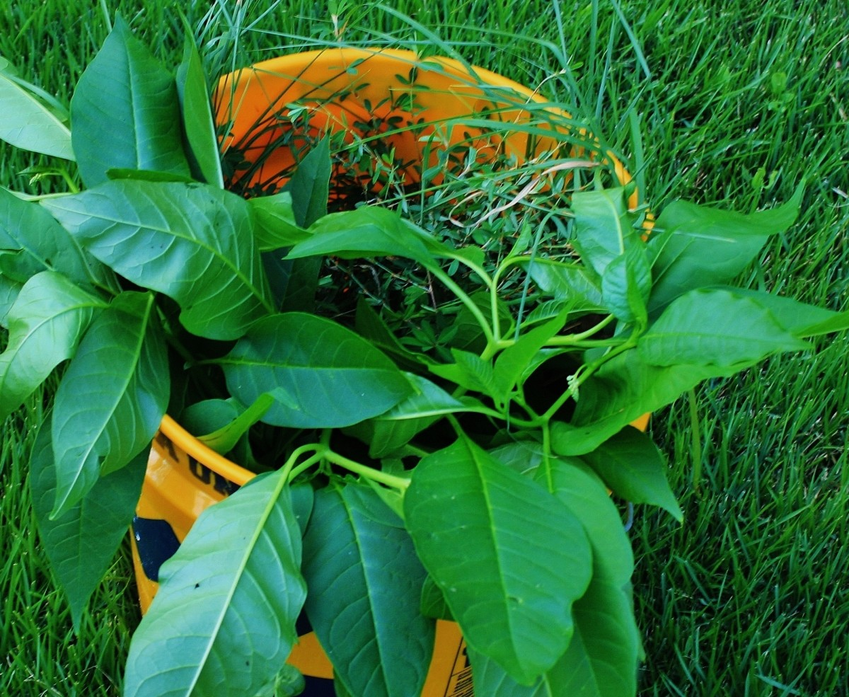 What's in your weed bucket? Annuals like pokeweed can be chopped up & used as mulch.