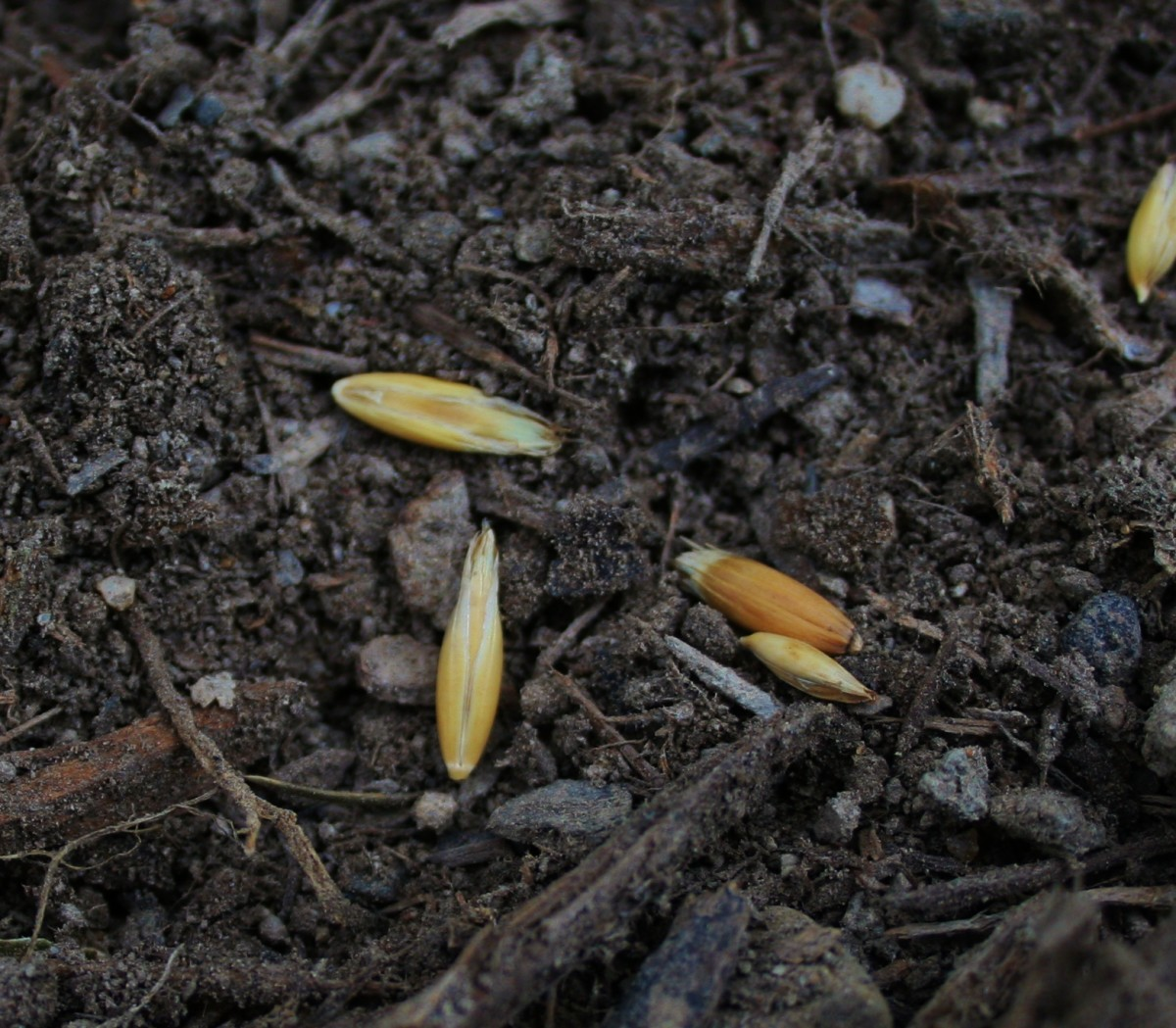 Oats & other cover crops are called green manure.