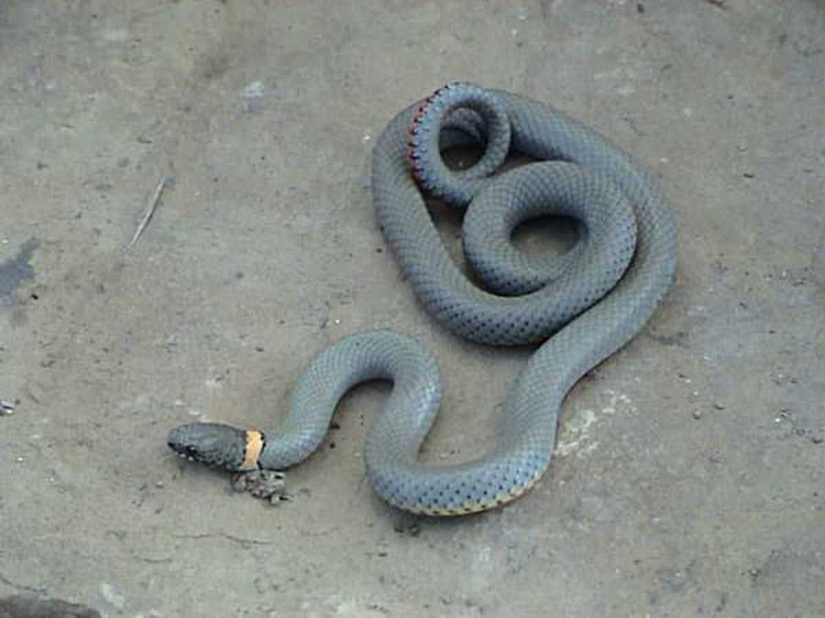 Regal ring-necked snake.  Photographer: LA Dawson Animal courtesy of Austin Reptile Service, This file is licensed under the Creative Commons Attribution-Share Alike 2.5 Generic license.