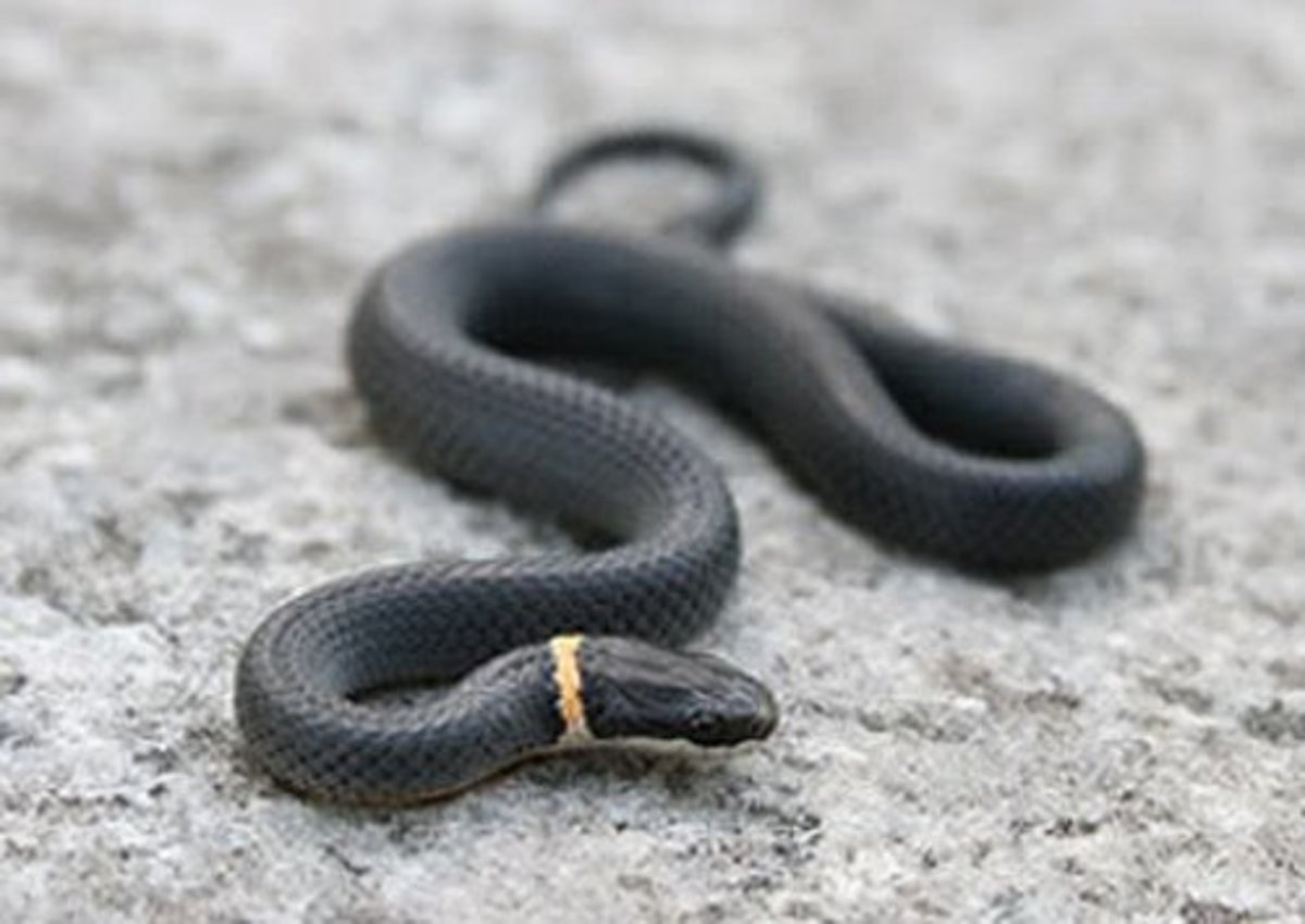 Northern ring-necked snake. Photo by Ivan Tortuga, public domain.