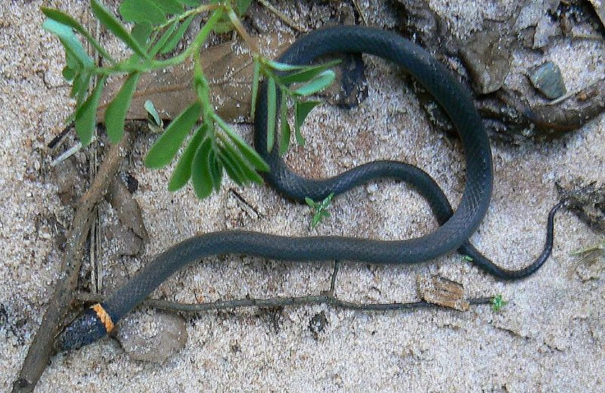 Southern ring-necked snake. Photo by Tim Ross, Public Domain.