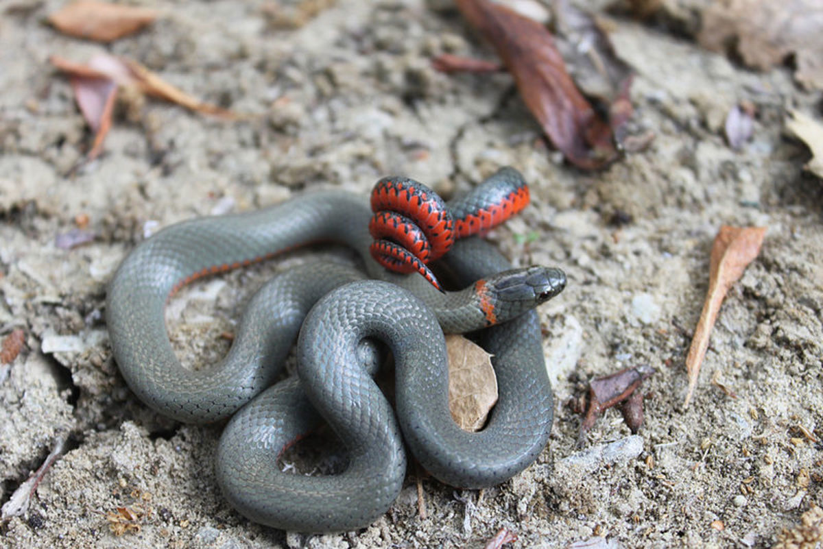 A San Bernardino ring-necked snake in defensive position. Photo by Mark Herr, This file is licensed under the Creative Commons Attribution-Share Alike 3.0 Unported license.