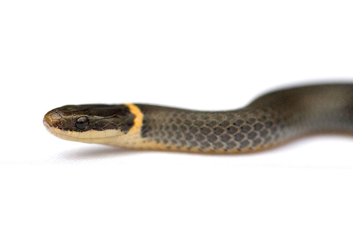 A Hillbilly Guide to Snakes: The Ring-Necked Snake