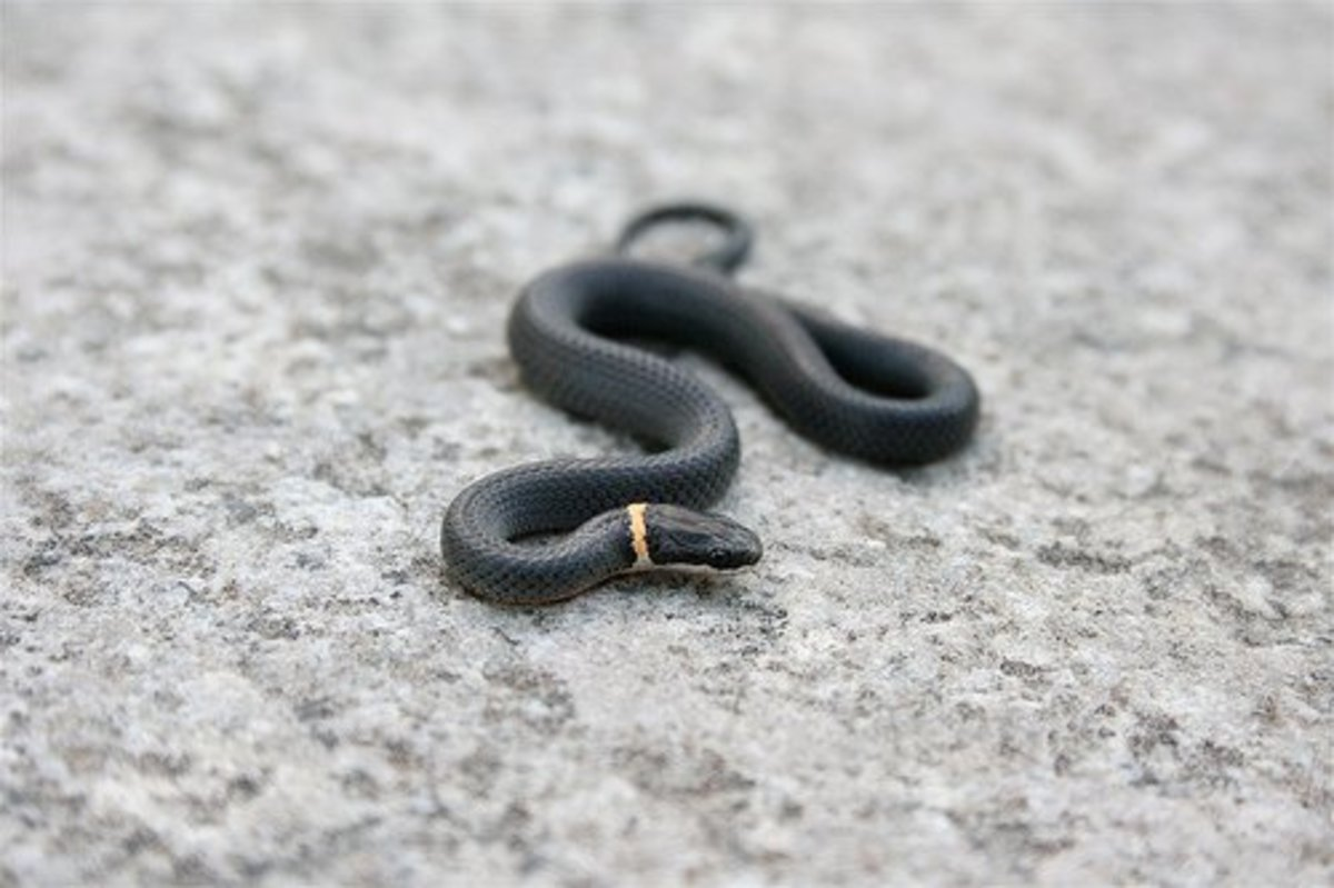 Northern ring-necked snake. Photo by Cody Hough,This file is licensed under the Creative Commons Attribution-Share Alike 3.0 Unported license.