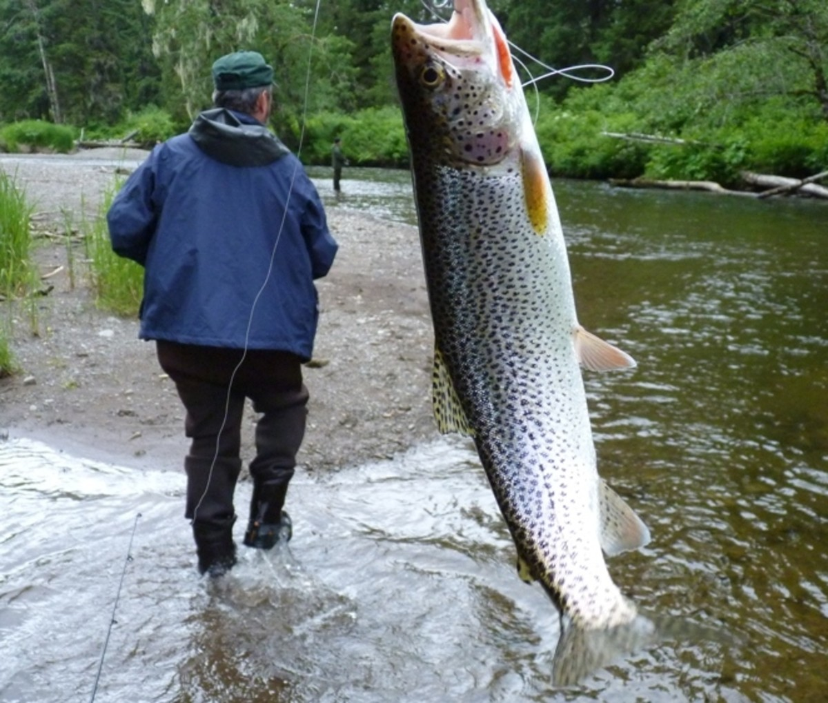 cutthroat trout - a big one, bigger than our guide
