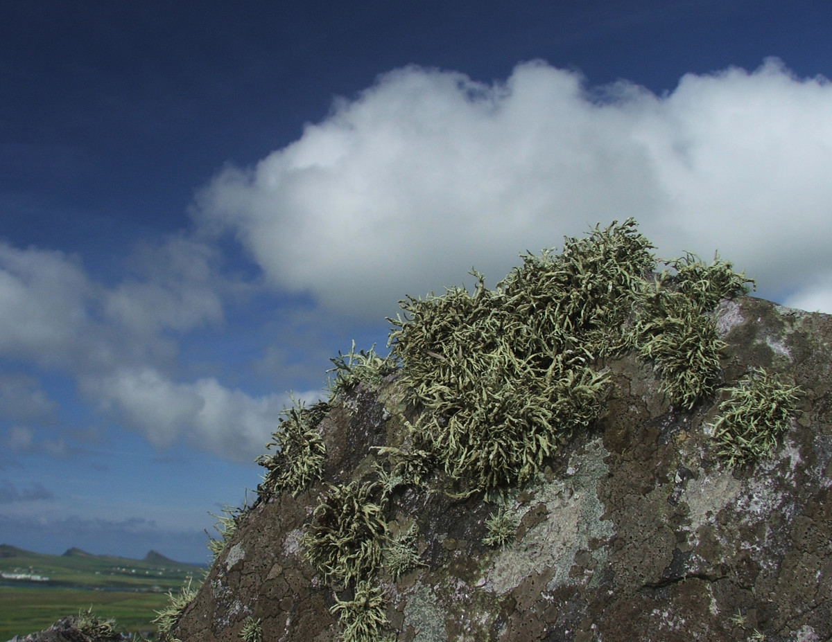 This grassy substance is actually a group of lichens.