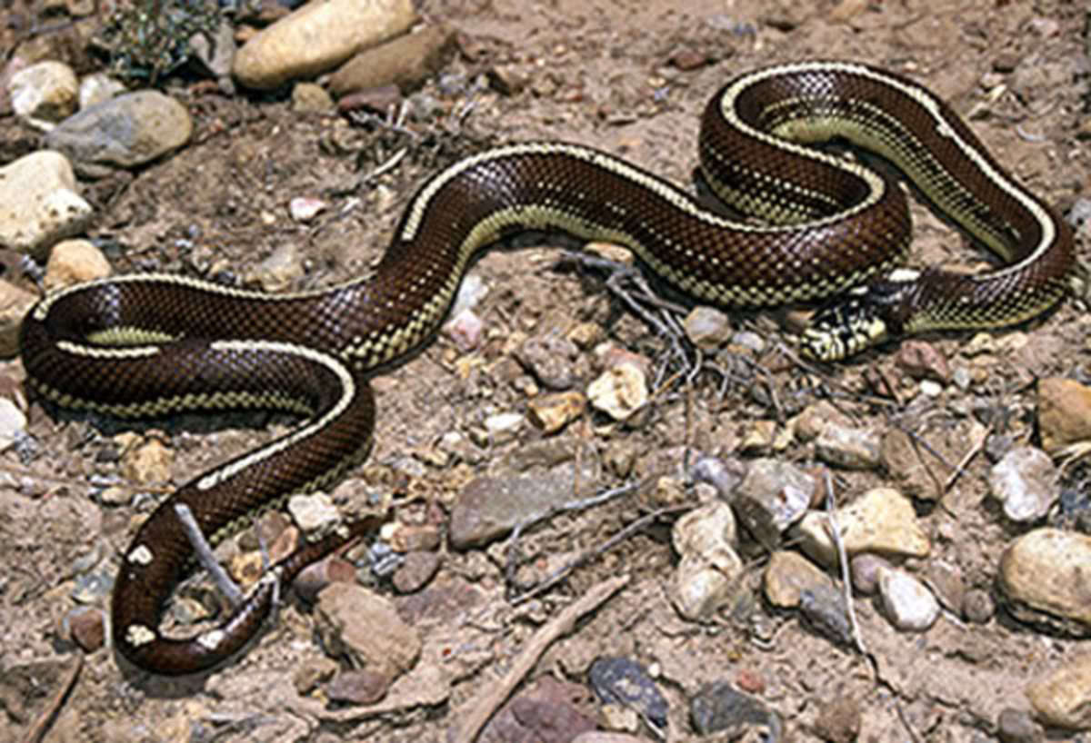 A striped California kingsnake. Public Domain.